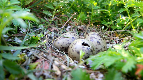 hatching of baby birds Footage