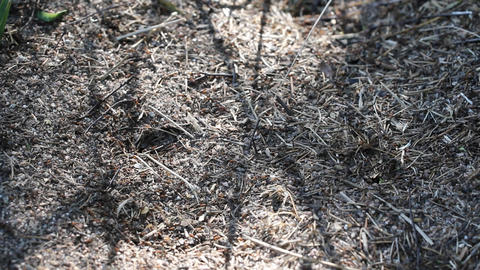 ants on anthill Stock Video Footage
