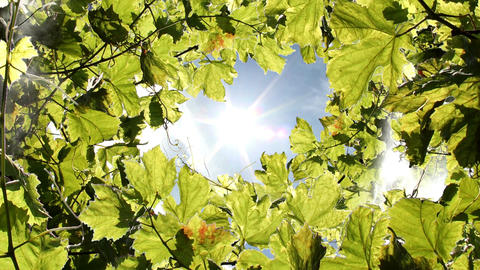 Vine Leaves Stock Video Footage