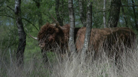Scottish Highlander in the woods Stock Video Footage