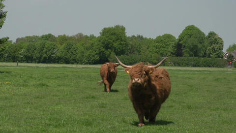Scottish Highlander in landscape running Stock Video Footage