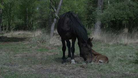 Horse with baby in woods Footage