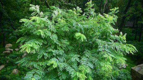 swing tree & green leaves,tree crown Stock Video Footage