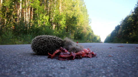 Dead hedgehog on asphalt road Stock Video Footage