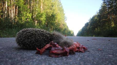 Dead hedgehog on asphalt road Stock Video Footage