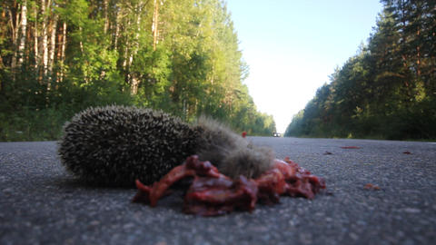 Dead hedgehog on asphalt road Footage