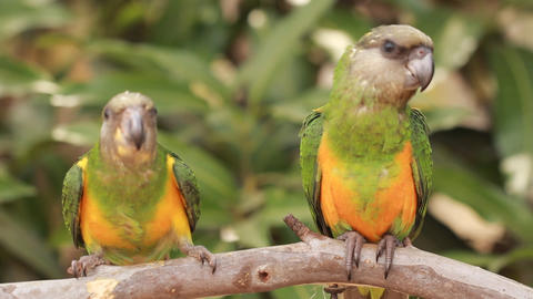 Animal Bird Two green parrots playing on Perch Footage