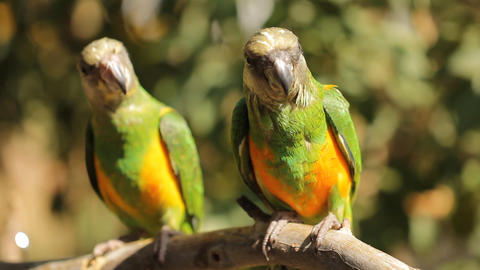 Animal Bird Two green parrots playing on Perch Stock Video Footage