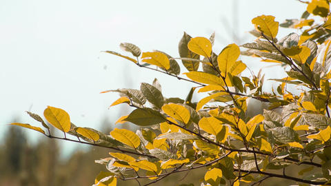 Closeup cherry leaves in autumn. Shot to RAW, wide Stock Video Footage