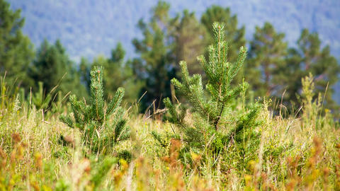 Young pines in field grass hot summer day. Shot to Footage