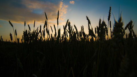 Wheat field at sunset. Shot to RAW, wide dynamic r Footage