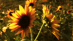 (1117B) Summer Sunflowers in Afternoon Sunset Stock Video Footage