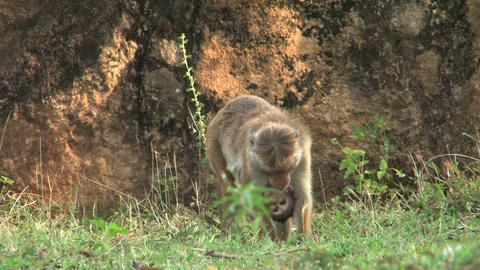 Monkey with baby monkey Stock Video Footage