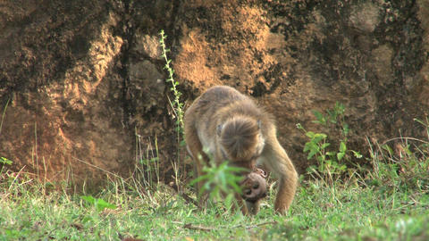 Monkey with baby monkey Footage