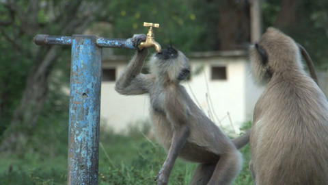 Monkey drinking water out of a crane Footage