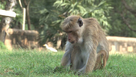 Monkey on the grass eating Stock Video Footage