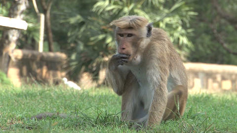 Monkey on the grass eating Footage