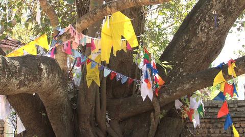 Bodhi-tree in Anuradhapura, Sri Lanka Footage
