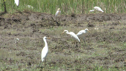 Birds on farm land Footage
