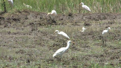 Birds on farm land Stock Video Footage