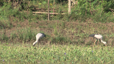 Storks on farmland Stock Video Footage