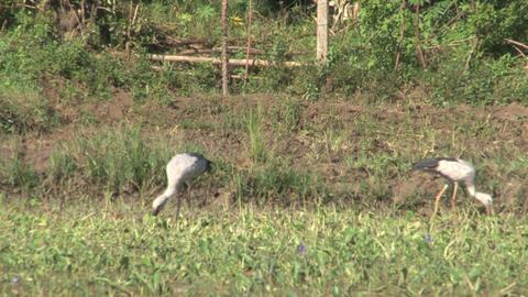 Storks on farmland Stock Video Footage