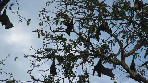 Bats in tree with sound Footage