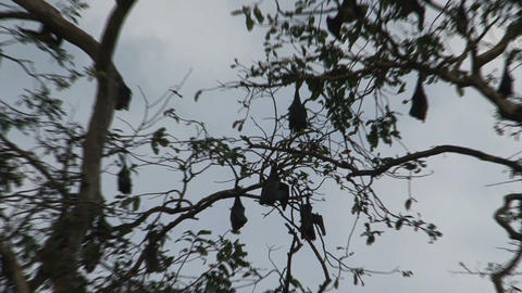 Bats in tree zoom-out Stock Video Footage