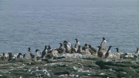 Colony of guillemots Stock Video Footage