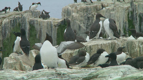 Razorbill Stock Video Footage