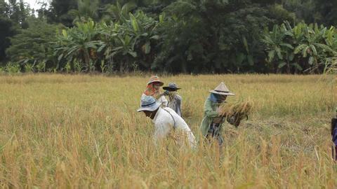 Farmer harvesting rice field in Thailand Footage