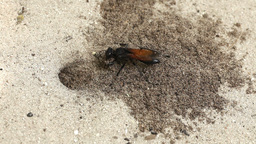 Wasp digging sand Stock Video Footage