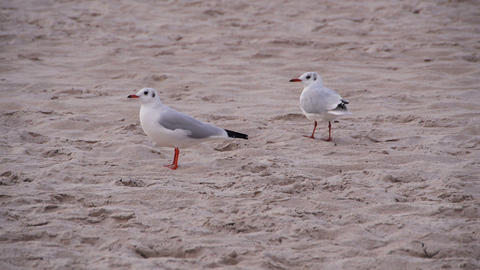 Two seagulls on the beach Stock Video Footage