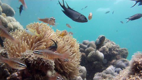 Sea anemone and tropical fishes Stock Video Footage