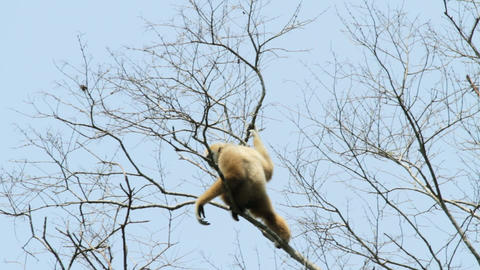 White handed gibbon Stock Video Footage