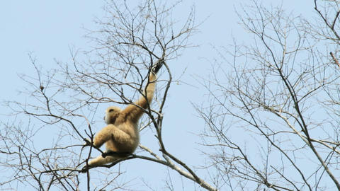 White handed gibbon Footage