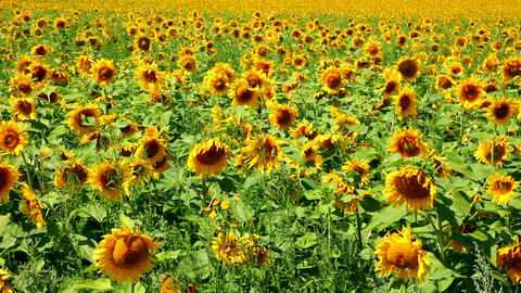 sunflowers field Stock Video Footage