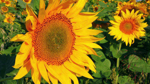 blossom sunflowers Stock Video Footage