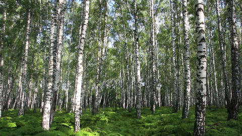 summer birch forest in Russia Stock Video Footage