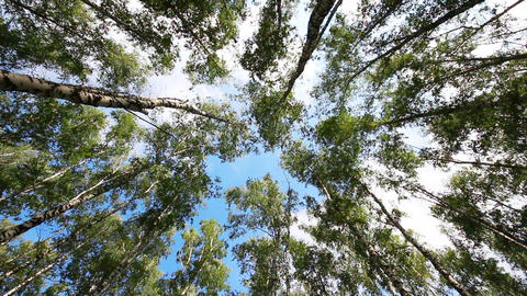 tops of summer birch trees Stock Video Footage