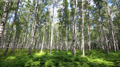 summer birch forest in Russia Footage