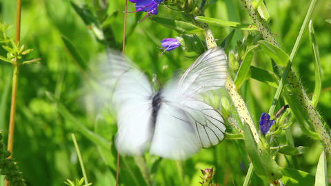 white butterflies copulate on flower - aporia crat Stock Video Footage