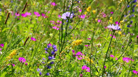 flowers on summer meadow Footage