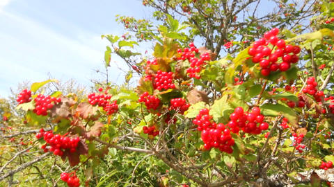 snowball tree red berries close up Footage