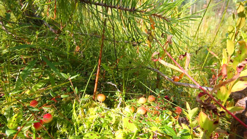 red cranberry berries on a bog Footage