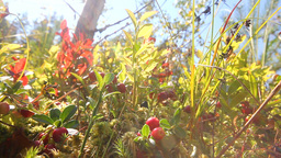 red cranberry berries on a bog Stock Video Footage