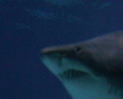 swimming shark Stock Video Footage