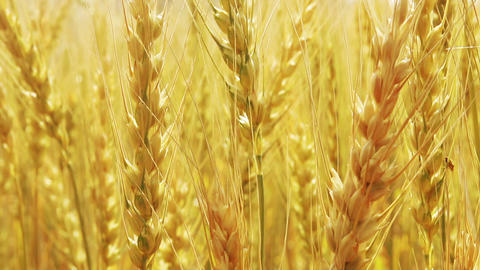 yellow field with ripe wheat close-up Footage