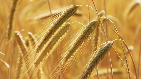 yellow field with ripe wheat close-up Stock Video Footage