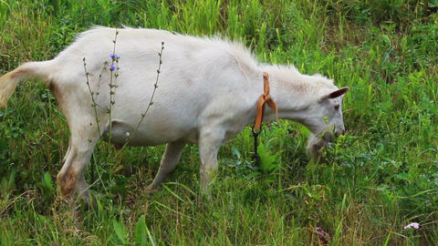 grazing white goat Stock Video Footage